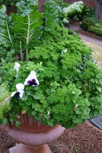 Parsley used in a planter / by L.A. Jackson