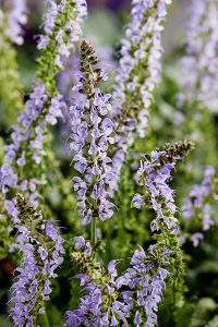 Salvia 'Crystal Blue' / by Proven Winners