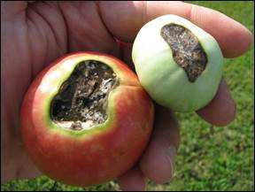 Blossom end rot is one of several vegetable problems more likely to occur during a heat wave.