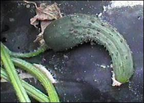 This misshapen cucumber is the result of poor pollination. Photo credit: Department of Entomology, University of Minnesota