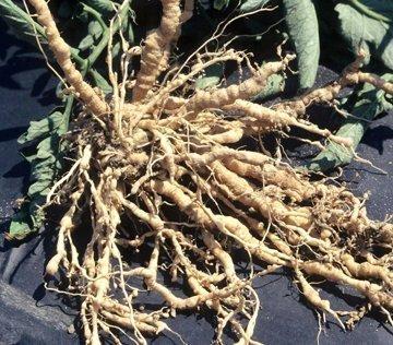 Root knot nematode / Gerald Holmes, California Polytechnic State University at San Luis Obispo, Bugwood.org.