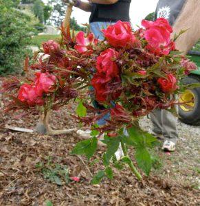 Rose Rosette Disease / JC Raulston Arboretum