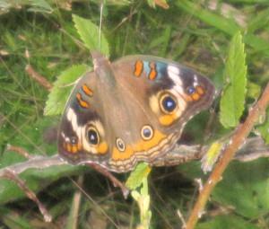 Buckeye butterfly / by Michael Pollock