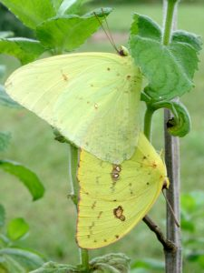 Cloudless Sulphur butterfly / by Paul Hart/ NC Dept. of Parks and Recreation