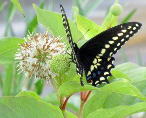 Male black swallowtail / by Michael Pollock