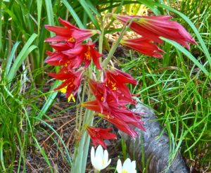 Oxblood lilies / by Dale Batchelor