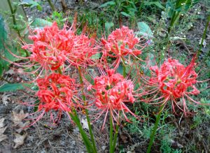Red spider lily / by Dale Batchelor