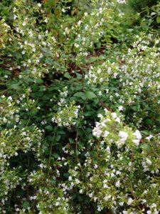 Calamintha nepeta 'Honeybee' / Joann Currier