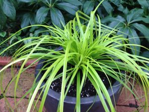 Carex oshimensis 'Everillo' / Joann Currier