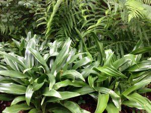 Rohdea japonica / Joann Currier