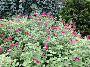 Salvia microphylla 'San Carlos Festival' / Joann Currier