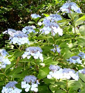Blue lace cap hydrangea / Michelle Wallace