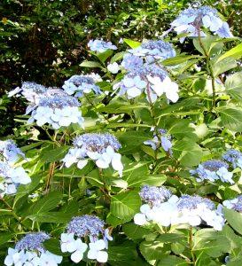Blue lace cap hydrangea / Michelle Wallace