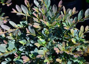 Distylium 'Coppertone' / Bailey Nurseries