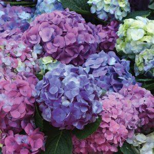 Hydrangea 'L.A. Dreamin' / Ball Horticulture