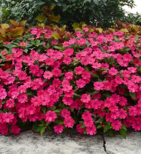 Impatiens Bounce Cherry / Ball Horticulture