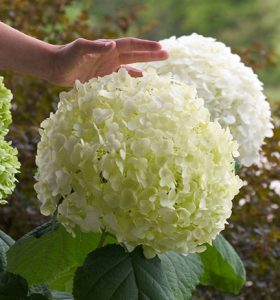 Incrediball Hydrangea/ Proven Winners