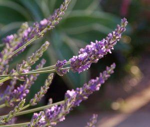 Lavender 'Phenomenal' / Cultivaris