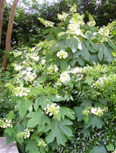 Oak leaf hydrangea / Michelle Wallace