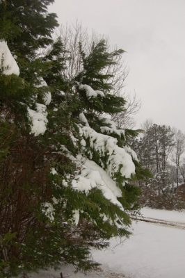 Snow on Leland cypress