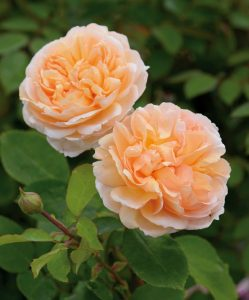 'The Lady Gardener' Rose / David Austin Roses