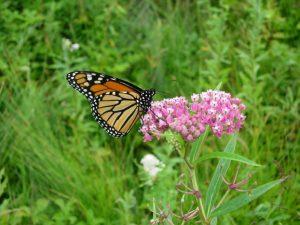 Monarch on swamp milkweed / Prairie Moon Nursery