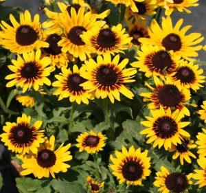 'Denver Daisy' Black-Eyed Susan