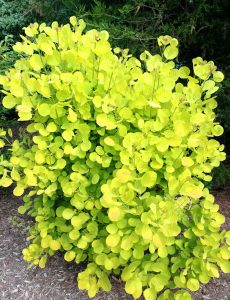 Cotinus coggygria Golden Spirit