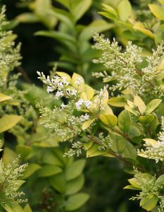 'Golden Ticket' Ligustrum