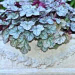 Heuchera Crown Jewel