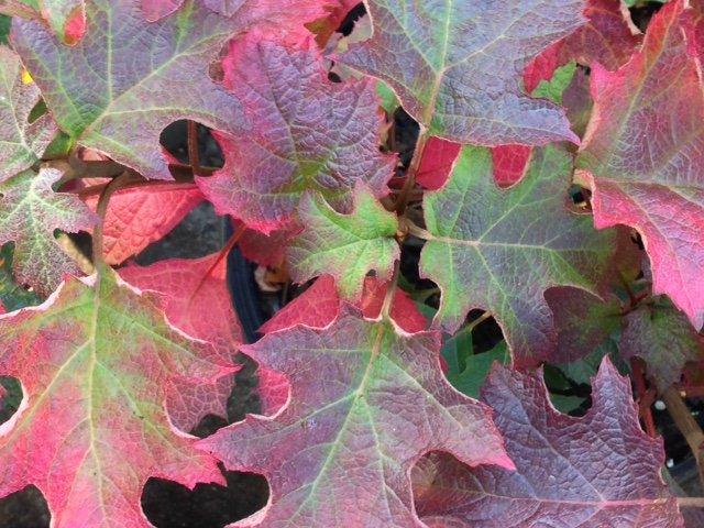 'Ruby Slippers' Oakleaf Hydrangea
