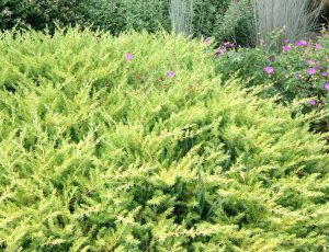 Juniperus conferta 'All Gold'