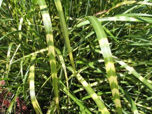 'Gold Bar' Maiden Grass