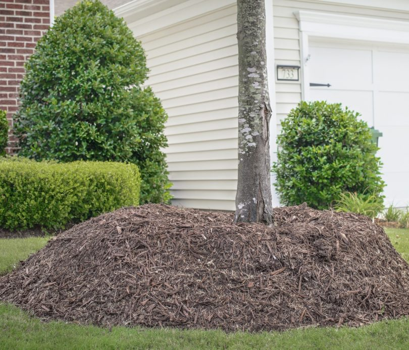 Tree with mulch volanco