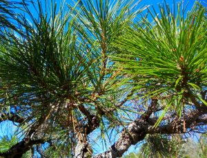 'Arakawa Sho' black pine / John Monroe