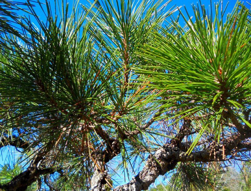 'Arakawa Sho' black pine
