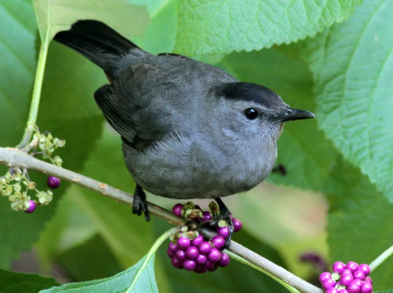 Exceptionnel Gray Catbird