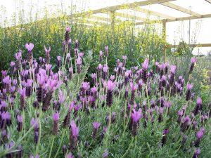 Lavender / JC Raulston Arboretum