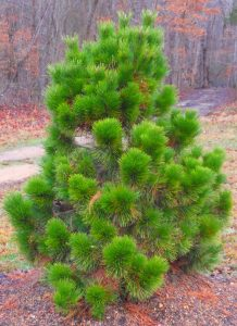 Thunderhead black pine
