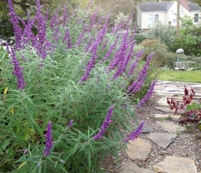 Growing Mexican Bush Sage Triangle Gardener Magazine