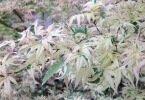 Acer palmatum 'Butterfly' / The Unique Plant