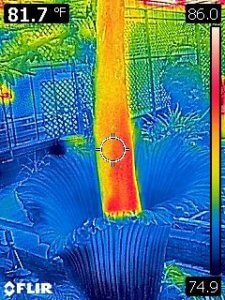 Thermal imaging revealed Lupin heating up during its bloom. Photo: NC State