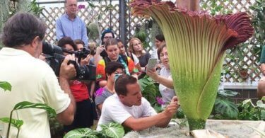 Brandon Huber pollinates a Corpse flower in the NC State greenhouse