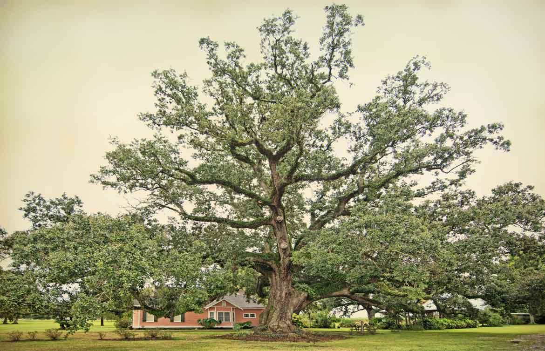Boudreaux Live Oak