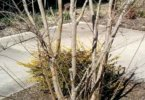 Incorrect crape myrtle pruning