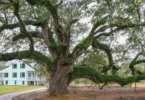 Live Oak at-E.D. White Plantation