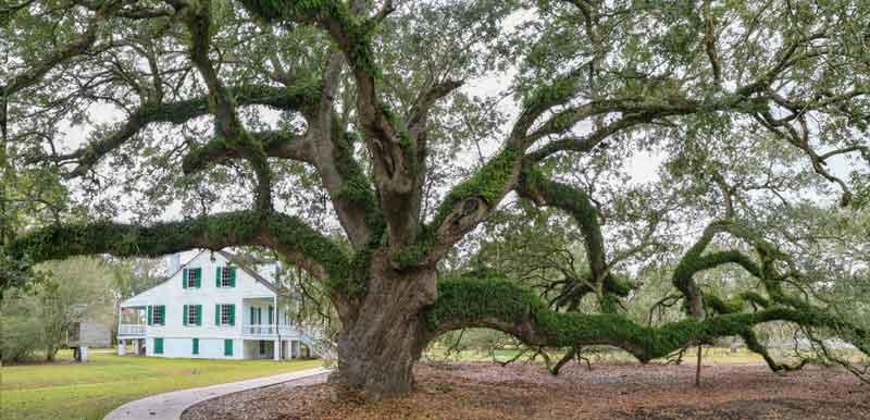 Live Oak at-E.D. White Plantation
