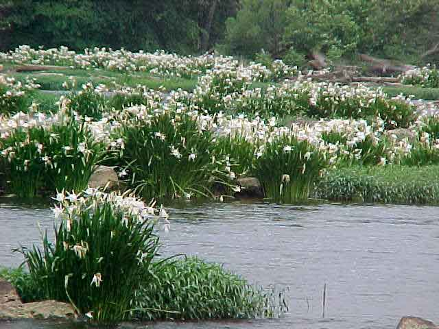 Rocky Shoals spider lily