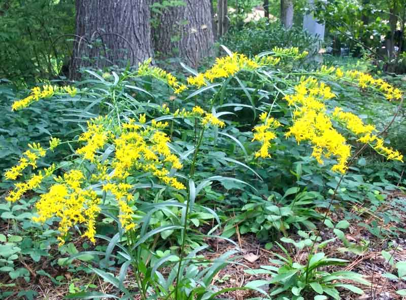 Gray goldenrod