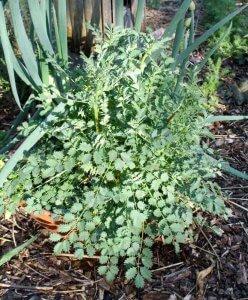 Salad burnette